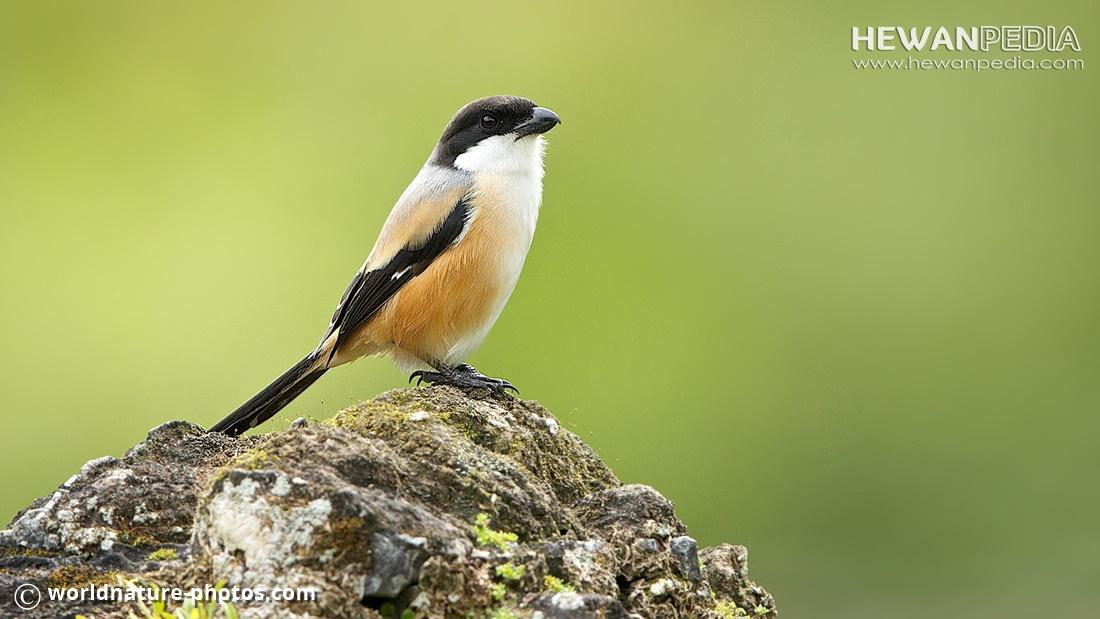 Ciri Dan Cara Membedakan Burung Cendet Pentet Jantan Dan Betina Hewanpedia