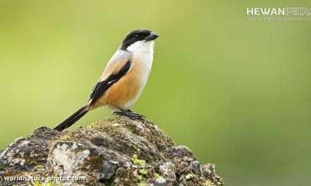 Ciri dan Cara membedakan Burung Cendet / Pentet Jantan dan Betina