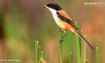 Cara Paling Ampuh agar Burung Cendet / Pentet Cepat Gacor