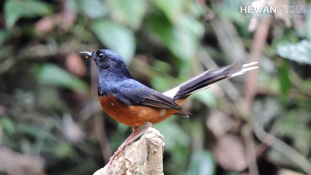 Ini Perbedaan Kelebihan Dan Kekurangan Burung Murai Hutan dengan Ternakan