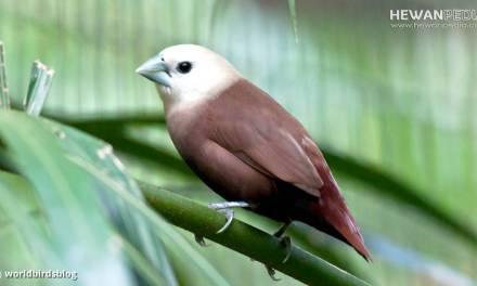 Burung Bondol Haji atau Emprit Haji beserta Faktanya