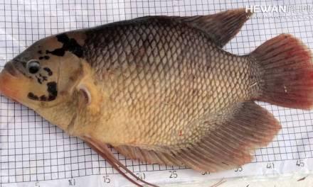 8 Ciri Fisik dan Jenis Ikan Gurami