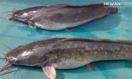 Ciri-ciri Indukan Ikan Lele Yang Berkualitas Bagus untuk Budidaya