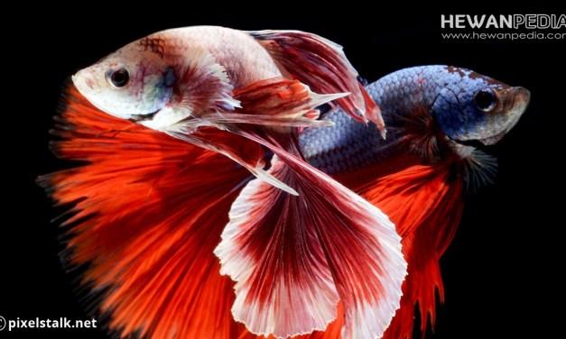 Ciri dan Cara membedakan Ikan Cupang Jantan dan Betina