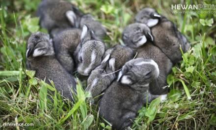 Bahaya Tikus dalam Budidaya Anakan Kelinci