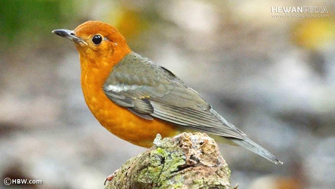 Perkiraan Kisaran Harga Burung Anis Merah Mei Tahun 2018