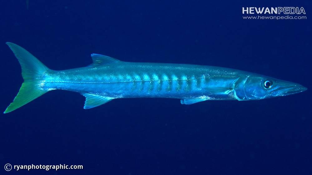 8 Fakta Menarik mengenai Ikan Barakuda