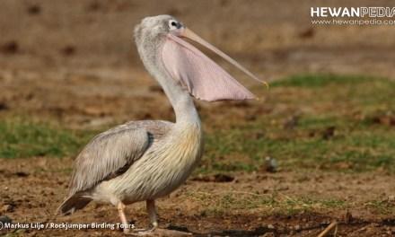 10 Fakta Menarik Mengenai Burung Pelikan