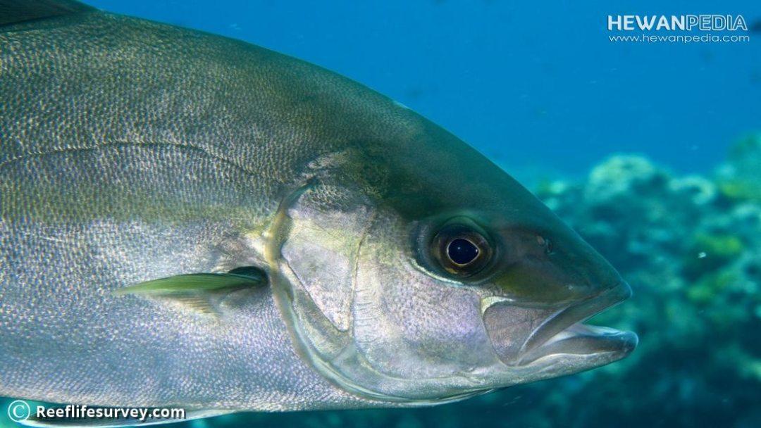 Mengenai Ikan Amberjack