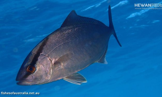 Ikan Amberjack serta Karakteristik dan Faktanya