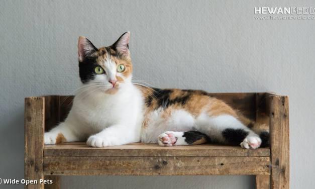 Penjelasan Kucing Calico atau Belang Tiga Warna menurut Biologis
