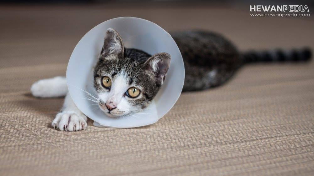 Fungsi E-Collar atau Corong untuk Kucing