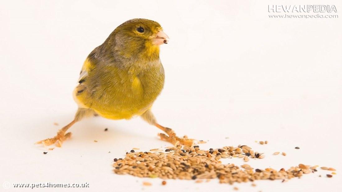 Berbagai Jenis Pakan Burung Kenari dan Penjelasan Manfaatnya Lengkap