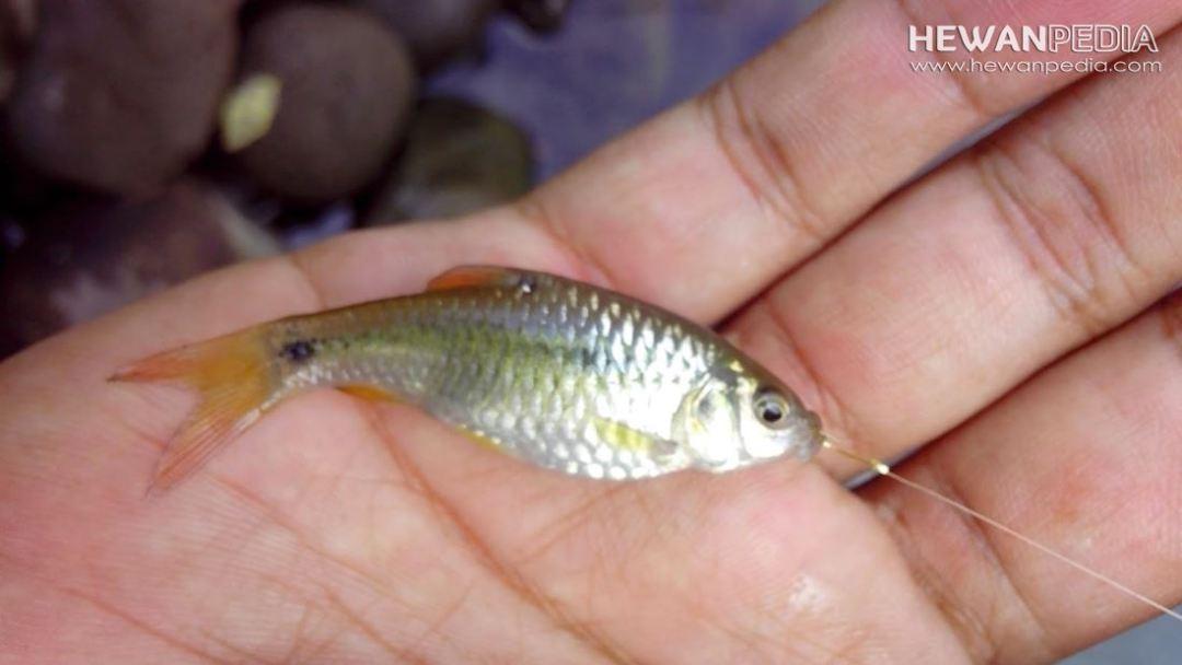 Mancing ikan Wader