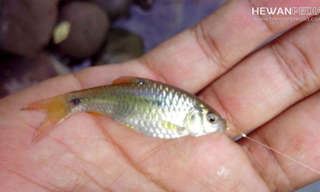 20 Umpan Mancing Ikan Wader yang Ampuh Ganas Banget