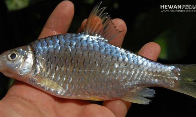 Cara Mancing Malam Hari Dengan Umpan Jitu Ikan Wader