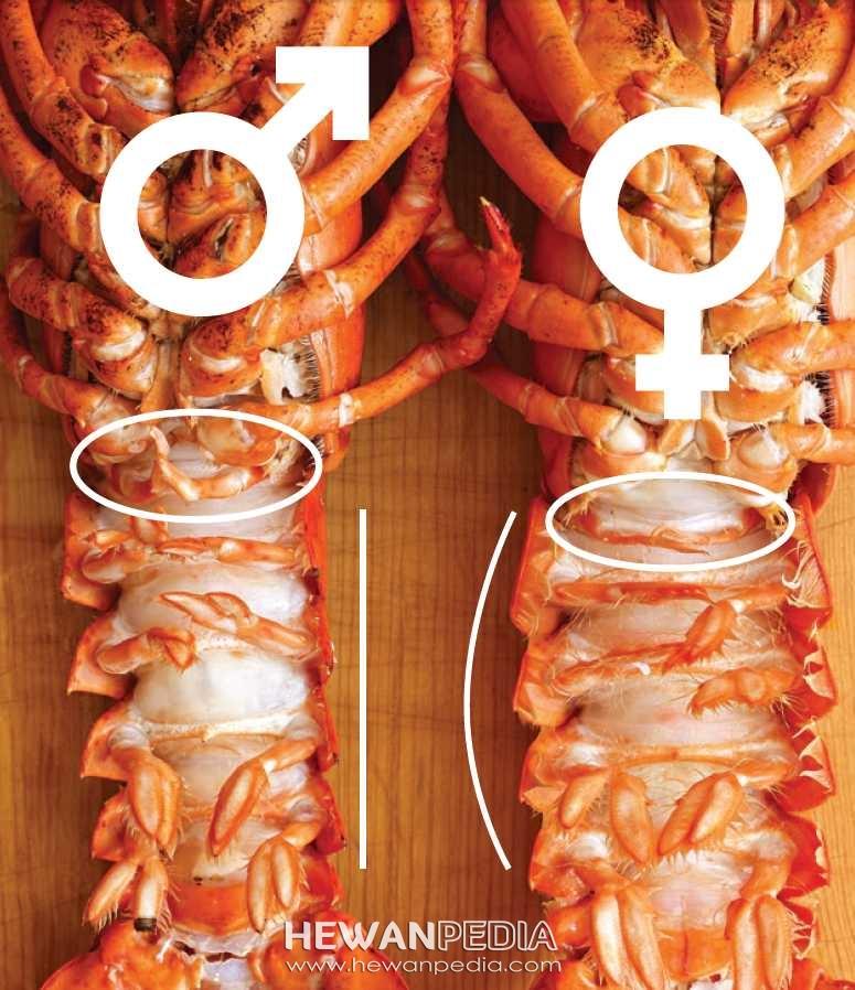 Cara membedakan Kelamin Lobster Air Tawar Jantan dan Betina