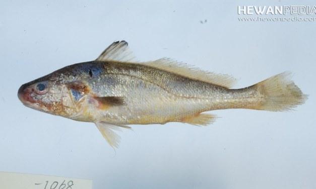Mengenal Ikan Gulamah atau Gelama Beserta Klasifikasi dan Ciri Fisiknya