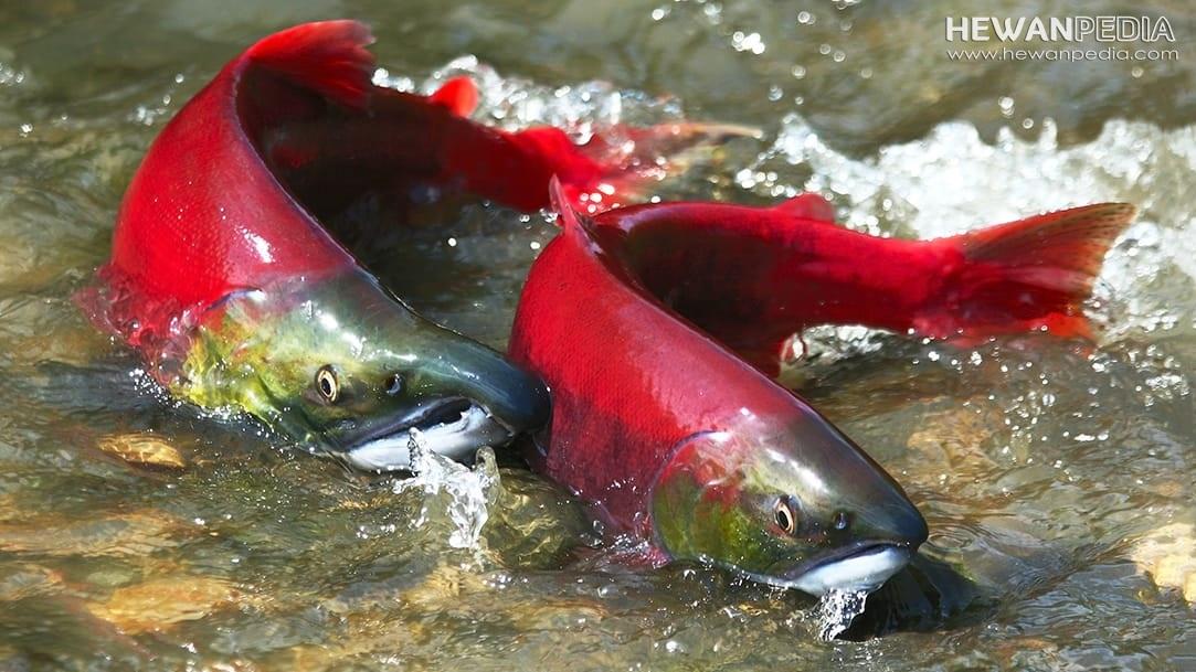 Mengenal Ikan Salmon beserta Klasifikasi, Ciri Fisik, dan Habitatnya