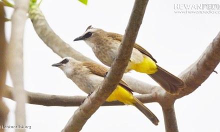 Panduan Awal Cara Menangkar dan Budidaya Burung Trucukan