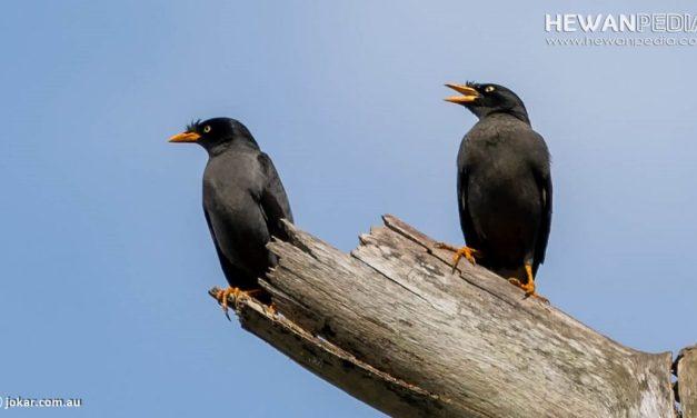 Cara Membedakan Burung Jalak Kebo Jantan atau Betina