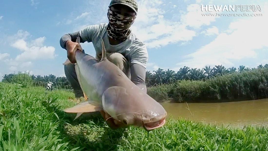 6 Umpan Racikan Jitu Untuk Mancing Ikan Patin Hewanpedia