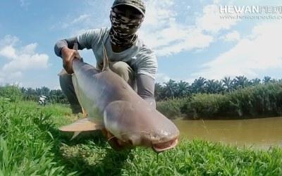 6 Umpan Racikan Jitu untuk Mancing Ikan Patin