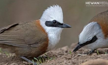8 Cara Merawat Harian Burung Poksay Hongkong