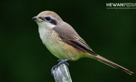 Jadwal dan Takaran Makanan untuk Anakan Burung Cendet