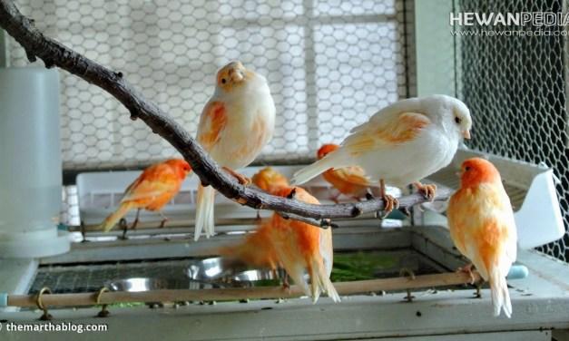 7 Cara Memilih atau Membeli Burung Kenari di Kandang Ombyokan