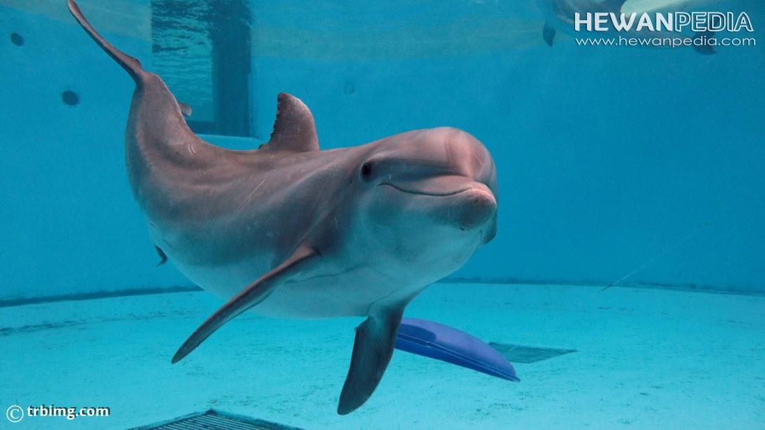 7 Fakta Menarik Lumba-lumba Bedasarkan Perliaku dan Ilmiah