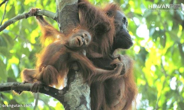 8 Taman Nasional yang Berada di Pulau Kalimantan serta Flora Fauna yang dilindungi