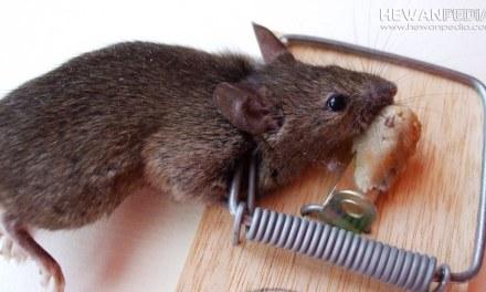 10 Cara Ampuh Menghilangkan Bau Tikus Mati atau Bangkai Tikus