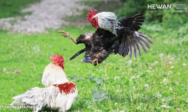 5 Hal Penting Cara Merawat Anak Ayam Bangkok agar Cepat Besar dan Juara