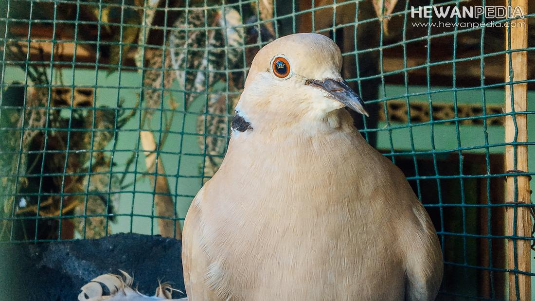 5 Tips atau Cara Memelihara BurungTekukur atau Derkuku agarRajin Manggung