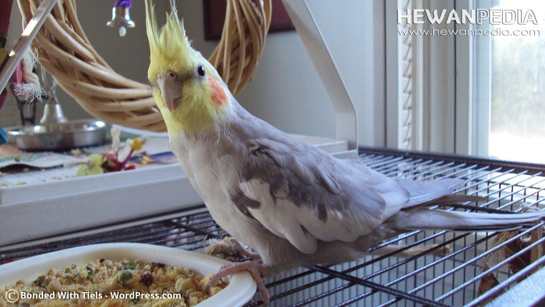 4 Jenis Makanan Tambahan Yang Baik Untuk Burung Palek Atau Parkit