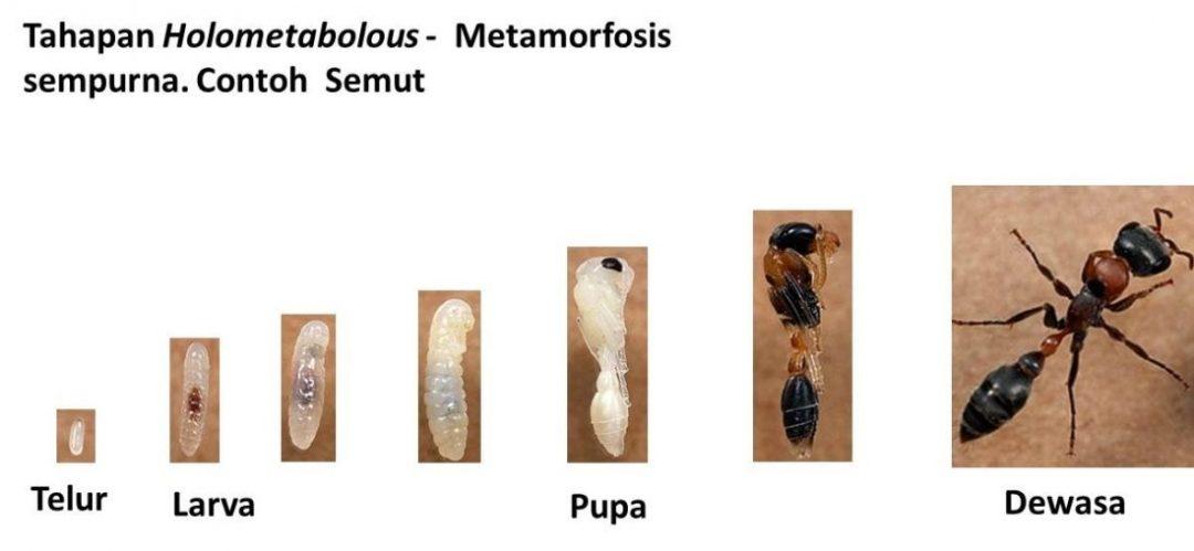 Penjelasan Metamorfosis Ametabolous,Hemimetabolous,dan Holometabolous