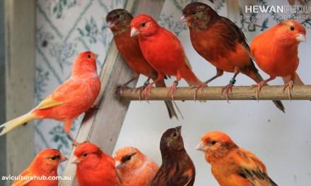 Cara Merawat Burung Kenari Black Red dan Ciri-cirinya