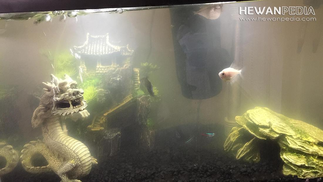 Cara Mengatasi Air Berkabut Keruh dan Bau Busuk Pada Akuarium Baru