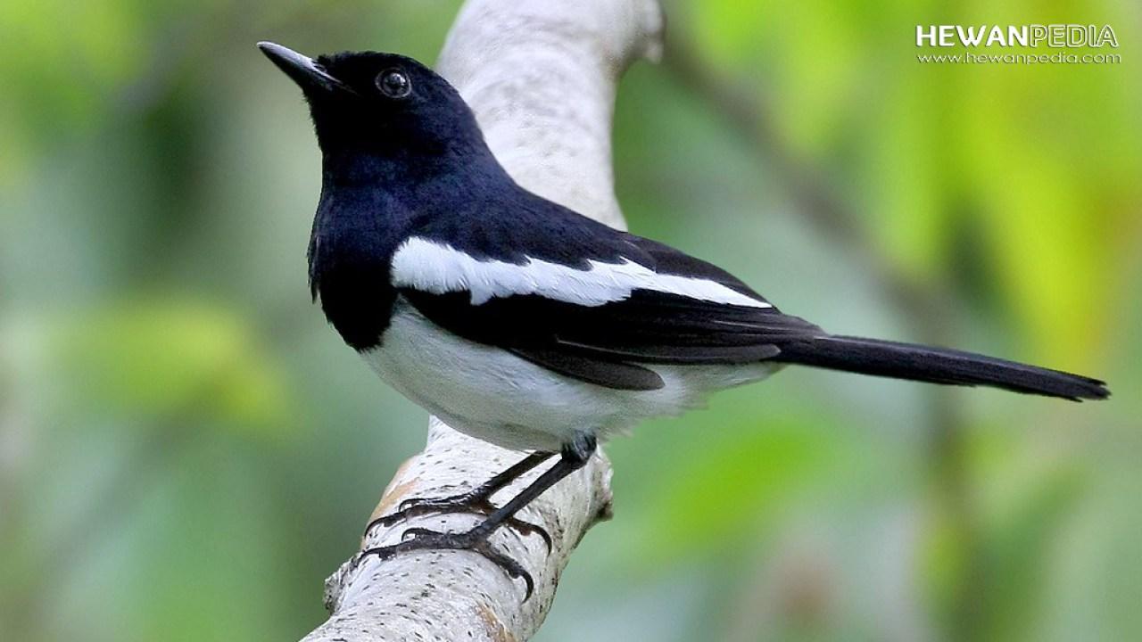8 Ciri Utama Perbedaan Jantan Betina Anakan Burung Kacer Hewanpedia