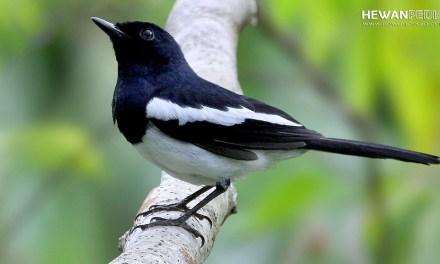 8 Ciri Utama Perbedaan Jantan Betina Anakan Burung Kacer