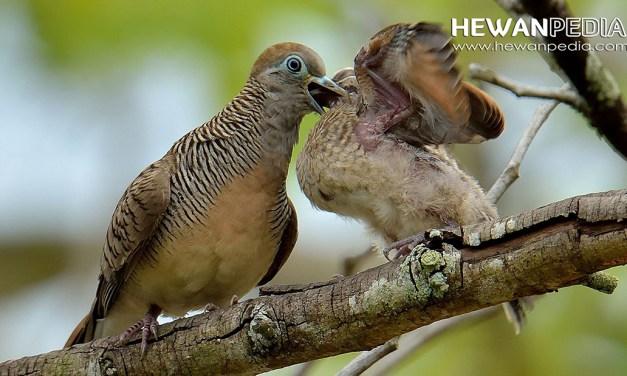 Primbon Kejawen Burung Perkutut berdasarkan Katuranggan dan Mathi