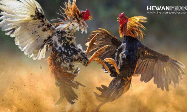 14 Mitos Ayam Aduan Katuranggan dari Ciri dan Kelebihannya