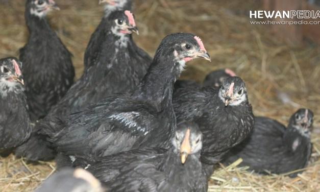 Cara Memilih Indukan Ayam Aduan beserta Cirinya