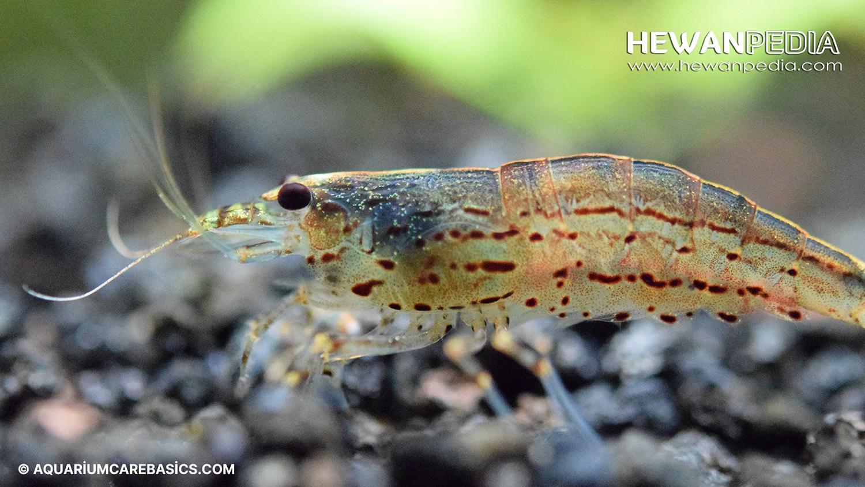Panduan Lengkap Memelihara Udang Amano Untuk Aquascape Hewanpedia