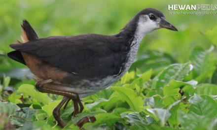 5 Cara Menagkap Burung Ruak Ruak atau Kruwok