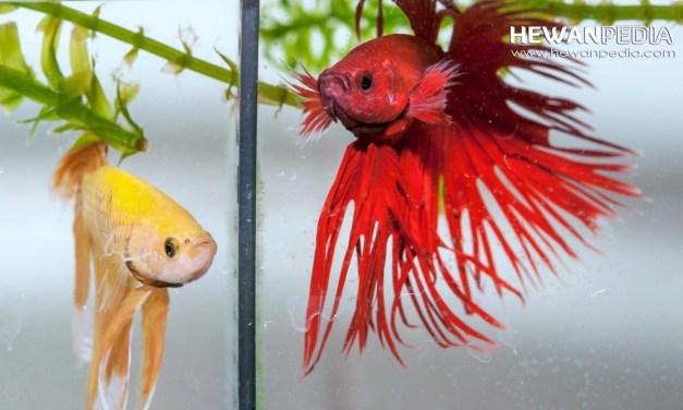 Cara Merawat dan Melatih Ikan Cupang Aduan Juara