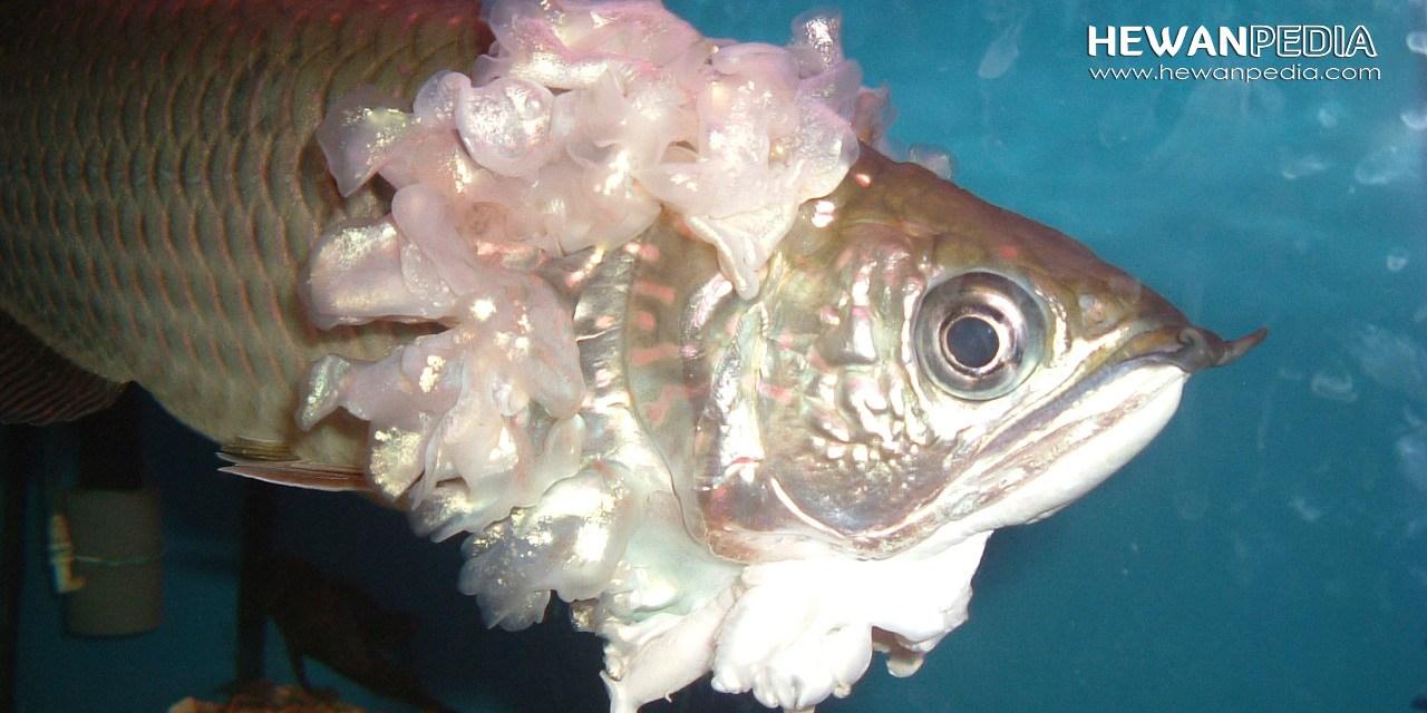 11 Jenis Penyakit Ikan Arwana dan Cara Mengobatinya
