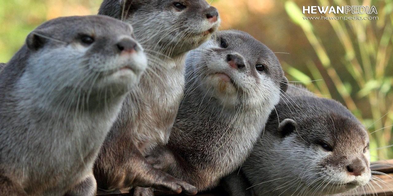 Ini Perbedaan Berang-berang Jenis Otter dan Beaver