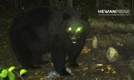 18 Arti Mimpi Bertemu Beruang Menurut Primbon Jawa